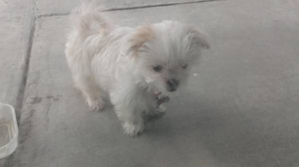 Lost White young dog in SW Bakersfield