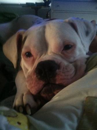 American bulldog boxer free to good family home