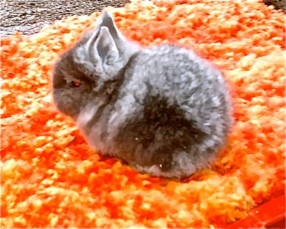 Lionhead dwarf Bunnies with FULL Windhaven pedigree - $65 (DIAMOND SPRINGS)