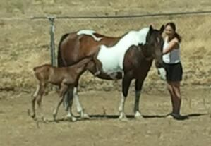 Tri colored paint mare filly - $800 (lincoln)