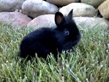 Lionhead dwarf Bunnies with FULL Windhaven pedigree - - $65 (diamond springs)