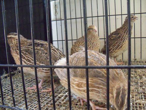 Quail 4 sale Japanese Coturnix - $1 (Angels C,Sonora,Gold Country)