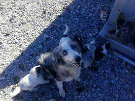 Great ServiceSearch RescueTherapyWorking Pups for Sale - $350 (Nevada)