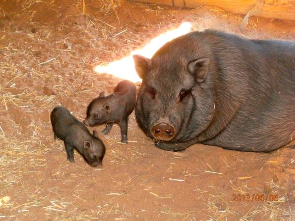 Two tiny male baby pot belly pigs - $150 (jacumba)
