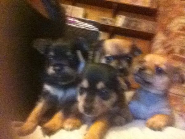 Chihuahua - $150 (Atwater)