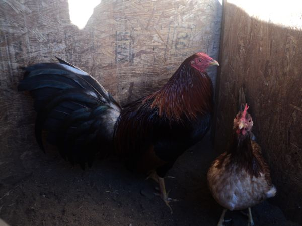 66666 ROOSTERS GALLOS FOR SALE 66666 - $90 (MODESTO)