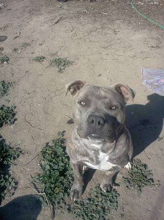 LOST MALE BLUE NOSE BRINDLE PIT female brindle pit (WEST MODESTO) (WEST MODESTO)
