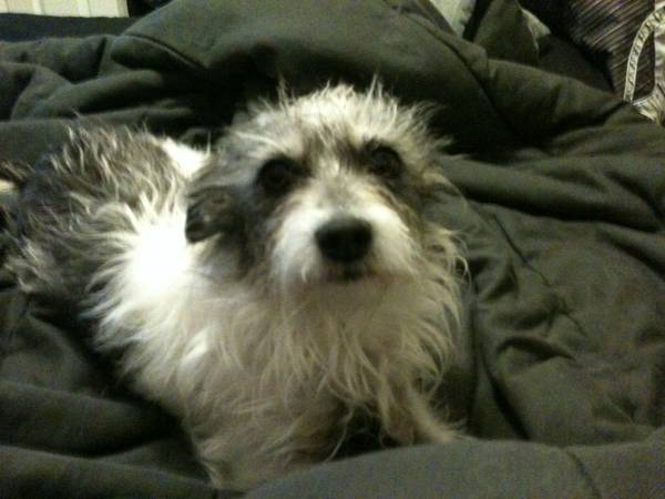 Male and Female terrier mix (Kingman)