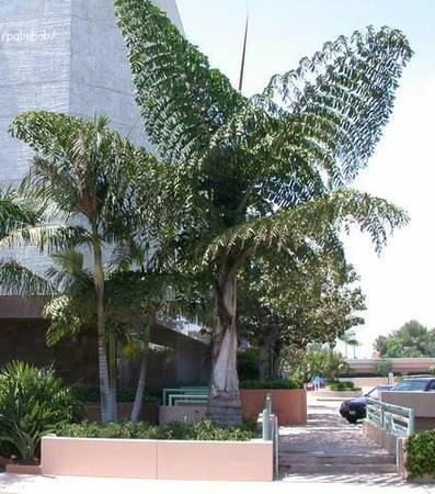 FISHTAIL PALM (Caryota Gigas)15 gal,6-12tall HUGE (N. Co SD (carlsbad))