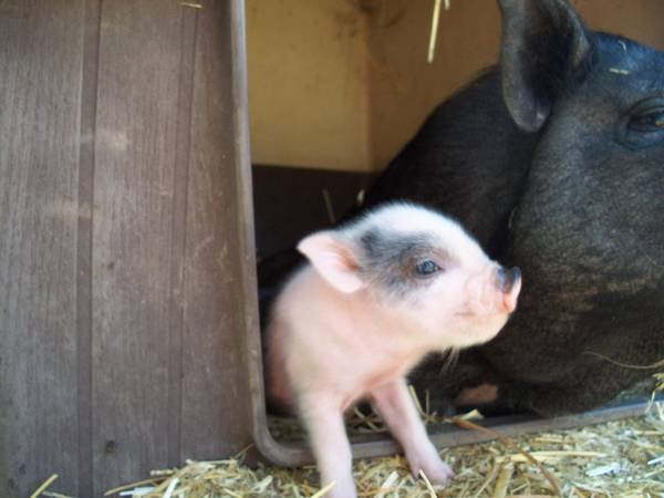 Finally Baby Pot Belly Pigs - $150 (IE)