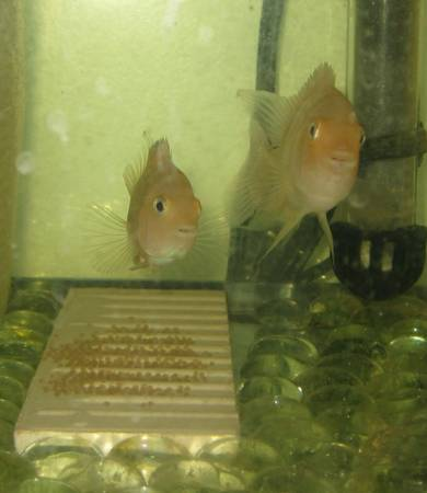 Pair of Pink Convicts - $10 (Tustin)
