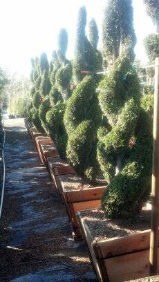 TOPIARY AND SPIRAL JUNIPERS - $50 (OC DELIVERY)