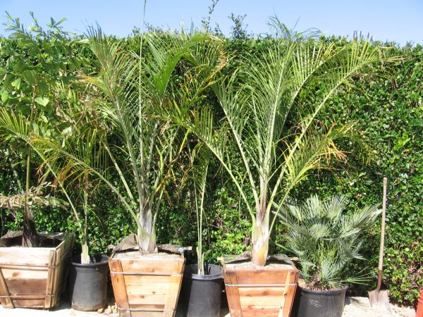 TRIANGLE Palms big 24 boxed - $140 (Carlsbad)