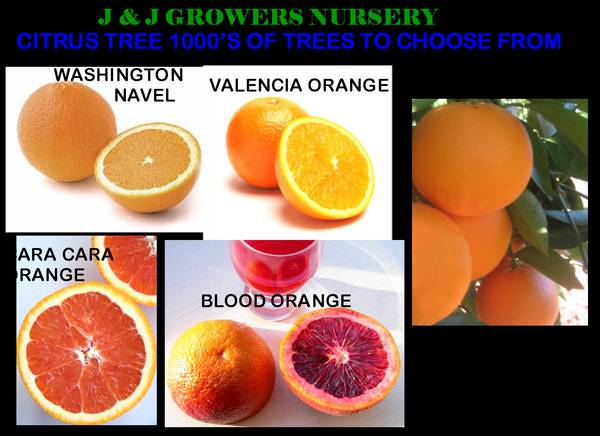 CITRUS TREES SALE ORANGE, LEMON, LIME, MANDARIN - $59 (OC DELIVERY)