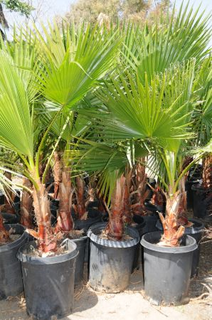 MEXICAN FAN PALMS - $30 (moreno valley)