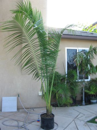 RARE PALM SPECIES - 100s (Carlsbad)