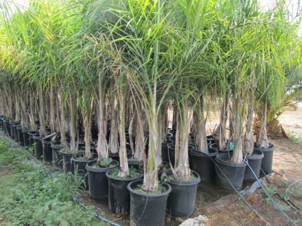 15 gallon Queen Palm - $12 (RAMONA)
