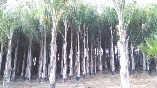 Palm Tree Nursery GOING OUT OF BUSINESS - $1 (FALLBROOK)