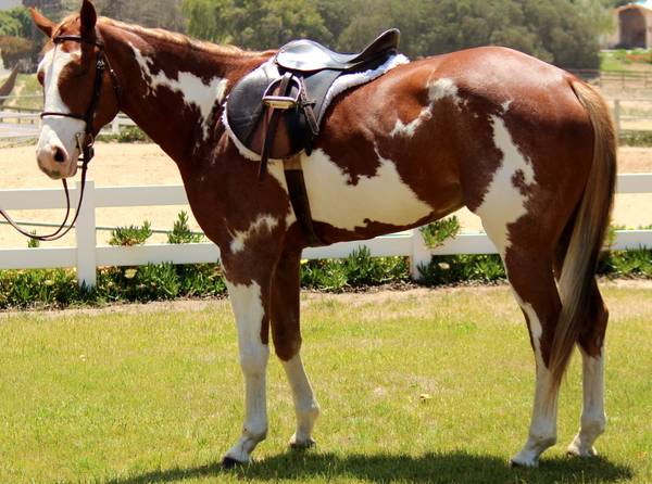 Horse For Sale or Lease - $5500 (orcutt)