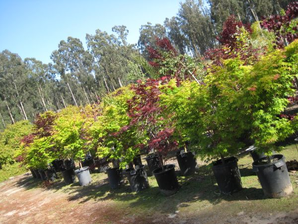 Japanese Maples and other trees and plants - $3 (Arroyo Grande)